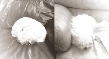 sulking dogs