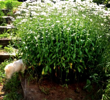 Very tall and wide bush of daisies