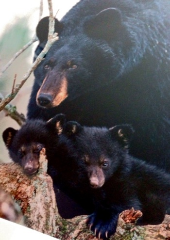 Close up of mama bear and cubs